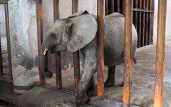 Elephant Cruelty in Zimbabwe